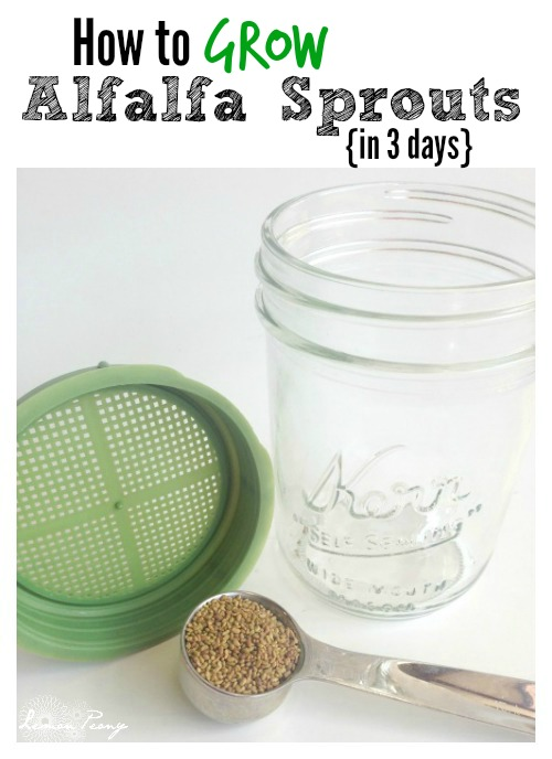 How to Grow Alfalfa Sprouts in 3 Days