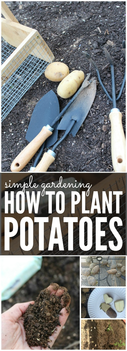 How to Plant Potatoes for Spring Simple Gardening