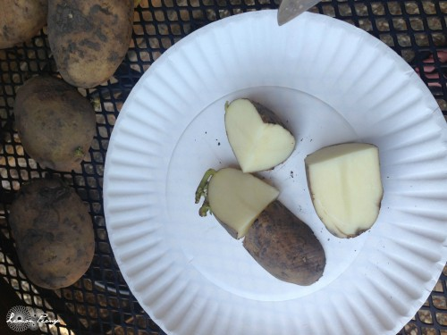 Seed Potatoes in Fourths